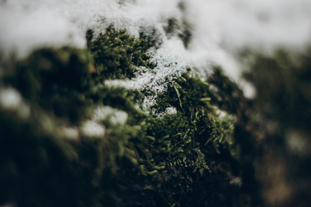 green moss on tree under snow. plants close up in snowy winter park. space for text