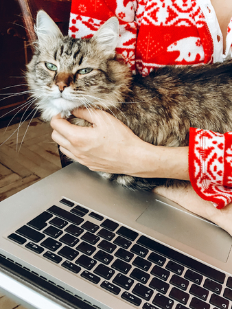 cute cat resting in hands. woman in pajamas holding and petting maine coon with funny emotions and using laptop Archivio Fotografico