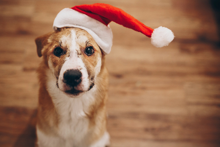 funny dog in santa hat. merry christmas and happy new year concept. space for text. cute surprised brown dog in red hat sitting in stylish room with adorable look. happy holidays Stock Photo