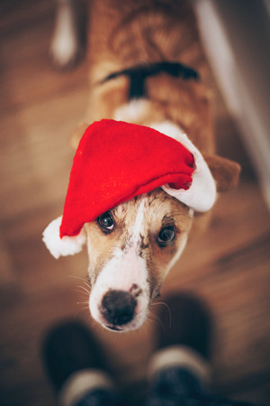 dog in santa hat looking up at owner. merry christmas and happy new year concept. space for text. cute brown dog in red hat sitting in stylish room with adorable look. happy holidays
