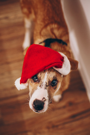 merry christmas and happy new year concept. cute dog in red santa claus hat looking with adorable eyes in the room, space for text. 2018 Earth brown Dog Year
