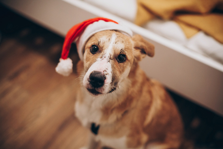 dog in santa hat. merry christmas and happy new year concept. space for text. cute brown dog in red hat sitting in stylish room with adorable look. happy holidays Stock Photo