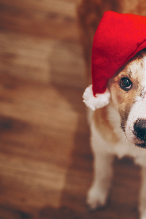 merry christmas and happy new year concept. cute dog in santa hat. space for text. cute brown dog in red hat sitting in stylish room with adorable look. happy holidays