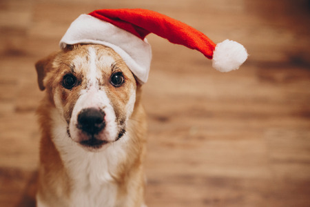 dog in santa hat. merry christmas and happy new year concept. space for text. cute brown dog in red hat sitting in stylish room with adorable look. happy holidays Archivio Fotografico