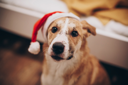 cute golden dog in red santa claus hat looking with adorable eyes in the room, space for text. 2018 Earth brown Dog Year. merry christmas and happy new year concept.