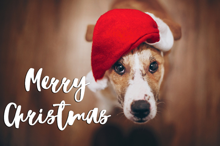merry christmas text, seasonal greetings card sign. dog in santa hat looking up at owner. cute brown dog in red hat sitting in stylish room with adorable look. happy holidays