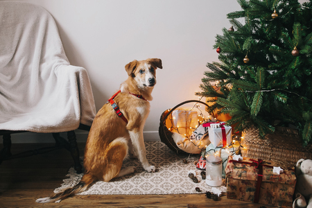 cute brown dog sitting in room at christmas tree with lights and chair. funny moment.  merry christmas, seasonal greetings, happy holidays. space for text. atmospheric moments