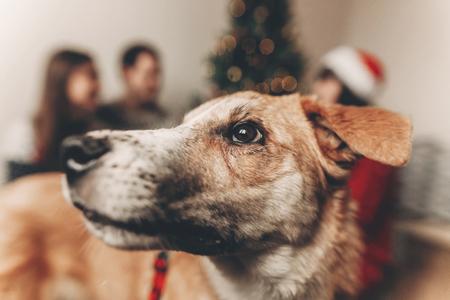 yeux de chien mignon incroyable regarder de près sur fond avec une famille heureuse dans des chandails à l'arbre de Noël avec des lumières. moments atmosphériques. joyeux Noël et bonne année concept.