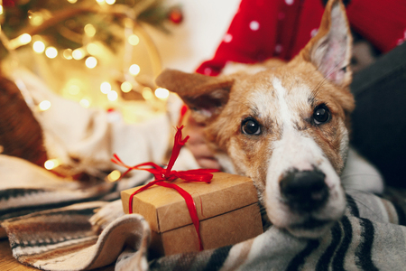 cute puppy sitting at craft gift box on rug at beautiful chrismas tree with lights and presents. seasonal greetings, happy holidays. merry christmas and happy new year concept. space for text