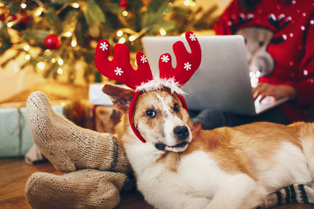 cute puppy in reindeer hat sitting at owner legs in socks at beautiful chrismas tree with lights and presents. seasonal greetings, happy holidays. merry christmas and happy new year concept Stock Photo