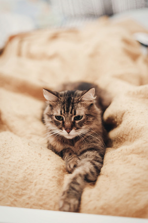 cute cat resting on yellow bed in stylish room, space for text. kitty maine coon with funny eyes lying on blanket, angry emotions, in warm home. playful funny moments