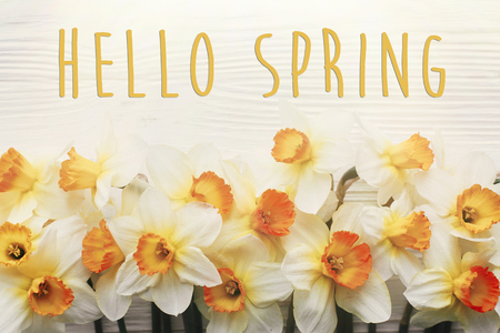 Hello spring text. Spring image flat lay with beautiful yellow daffodils in soft light on white wooden rustic background top view. seasonal greeting card mockup