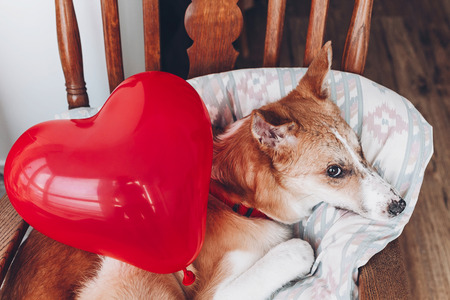 cute puppy with red heart. happy valentines day concept. dog with red heart balloon in room. vet health care, medicine and blood donation concept. love and protection