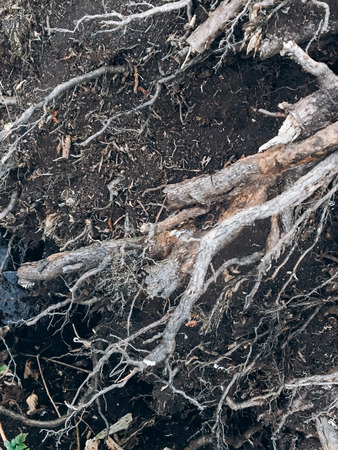dry roots with dark ground in spring park, environmental concept