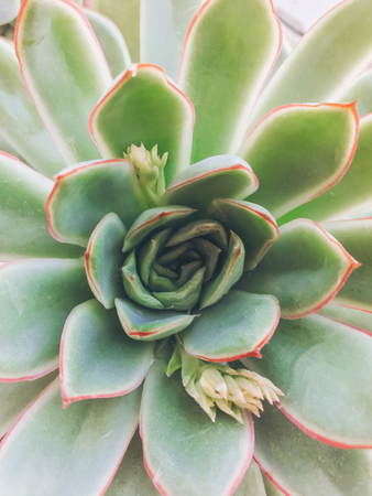 top view of succulent. green plant flat lay, close up Stockfoto - 96482110