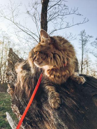 maine coon sitting on tree in sunset sun light in spring park and relaxing. cute cat