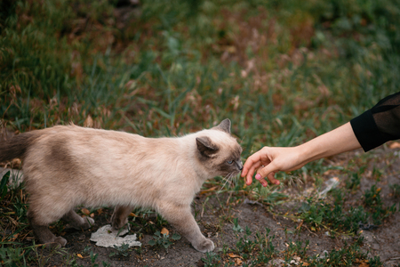 cute gray cat walking to woman hand in park. wild beautiful cat with blue eyes and girl hand trying to caress him. adoption concept.