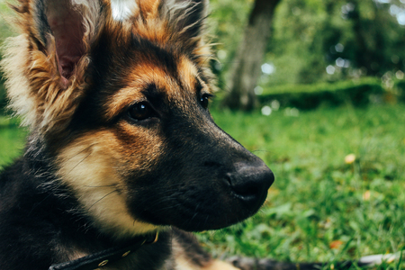 amazing adorable puppy german shepherd sitting on green grass and looking with cute eyes, summer