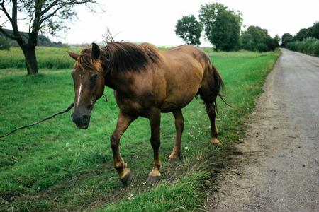 美丽的棕色马在路边的田野里散步和吃草,夏天在乡间