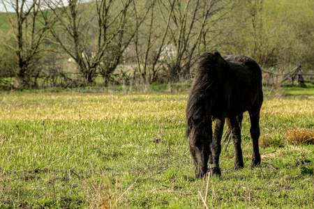 beautiful luxury black horse walking and grazing in a field, summer in country side Stock Photo