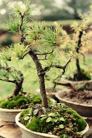 beautiful little trees bonsai variety on the yard, market and garden Фото со стока