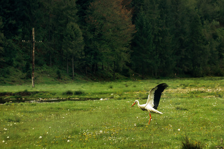 beautiful lonely stork, spreading  wings, walking on sunny meadow in ukrainian mountains Banque d'images - 99112474
