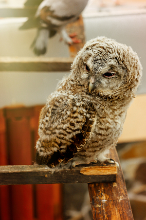 cute sweet owl with grey and brown feathers with funny look sitting on background of house Stock Photo