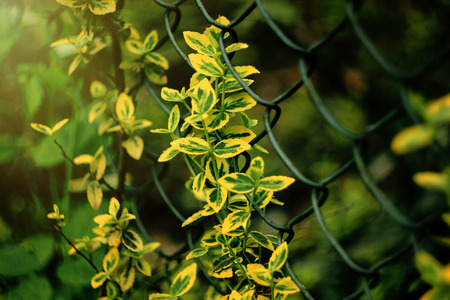 beautiful colorful leaves on metal fence in sunlight in botanical garden