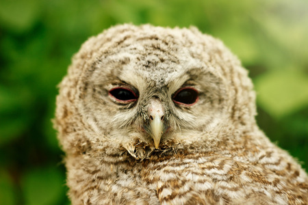 cute sweet owl with grey and brown feathers with funny look on nature background Stock Photo