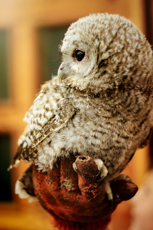 cute owl with grey and brown feathers sitting on hand with leather glove