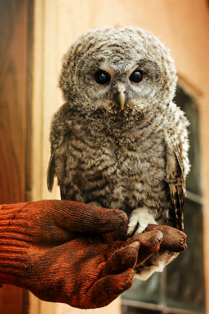 cute owl with grey and brown feathers sitting on hand with leather glove Stock Photo - 99112545