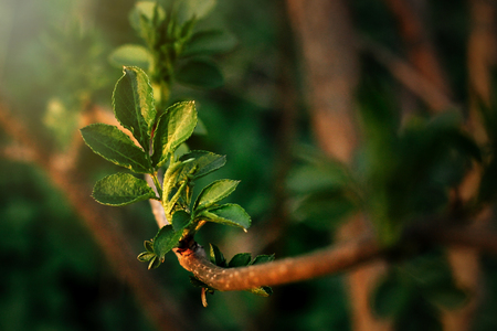 beautiful fresh leaves on branch in spring sunny evening Reklamní fotografie