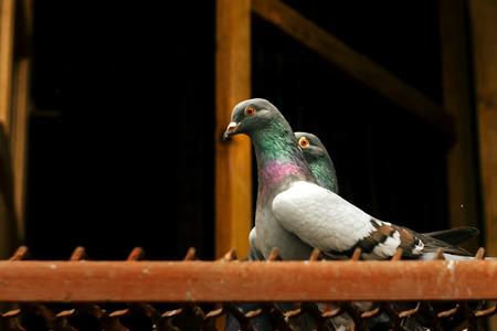 zwei Tauben mit lustigem Blick in ihrem Haus, Vogelzucht