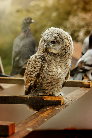 cute sweet owl with grey and brown feathers with funny look sitting on background of house 版權商用圖片