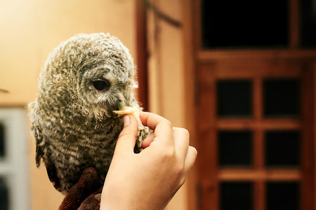 cute owl with grey and brown feathers sitting on hand and eating meat Stock Photo - 99184441