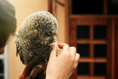 cute owl with grey and brown feathers sitting on hand and eating meat Stock Photo