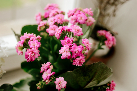 beautiful Kalanchoe home plant with lovely pink flowers on the window of a room 版權商用圖片 - 99343654