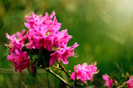 beautiful pink azalea flowers in sunny botanical gardens Zdjęcie Seryjne