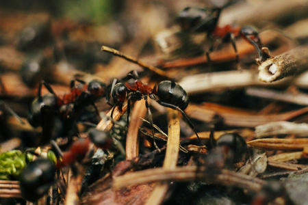 group of brown ants working hard on their nest in the woods in mountains