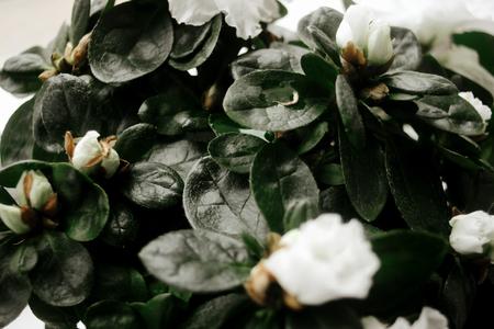 beautiful amazing white azalea plant with flowers in sunny room Zdjęcie Seryjne