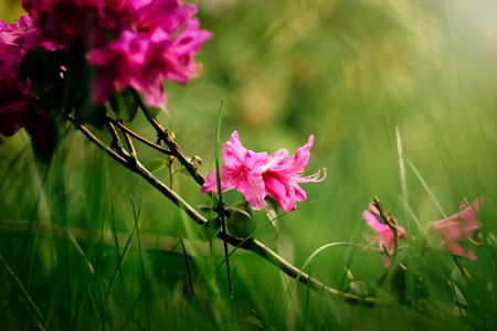 beautiful pink azalea flowers in sunny botanical gardens Stock Photo