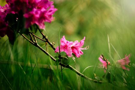 beautiful pink azalea flowers in sunny botanical gardens Stockfoto