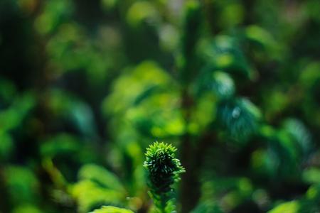 verbazingwekkende mooie pijnboomtak in zonnig bos in de zomerbergen, ruimte voor tekst