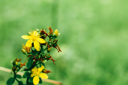 beautiful colorful yellow wild flowers on green grass background in summer