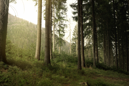 beautiful sunny forest with pine trees in the spring mountains Stock Photo