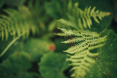 beautiful fern leaf close-up in woods. fern leaves bokeh in sunny forest. environmental protection . earth protection. flora in mountains