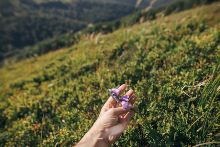 hand holding beautiful bellflower in sunny mountains. hipster girl gathering wildflowers,herbs, holding campanula on background of grass