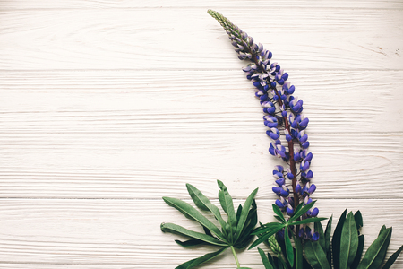 lovely lupine bouquet on rustic white wooden background in light, space for text. purple wildflowers top view. floral greeting card. spring image flat lay