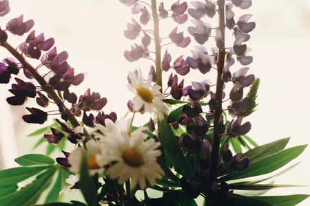 lovely lupine and chamomile bouquet in light at rustic white wooden window in light, space for text. purple wildflowers. floral greeting card. spring image