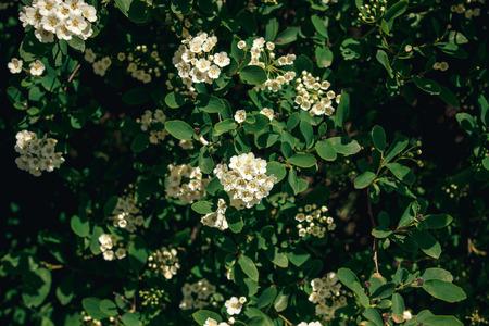 beautiful spirea flowers in sunlight. spiraea white flowers bush in sunny summer garden. enjoying life. protecting nature